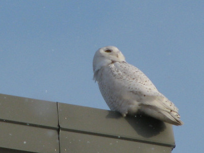hanger snowy owl 1 Danny Favreau IMG_0519