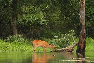 Deer_IMG_1722a_Harrison