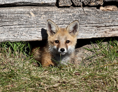 Young Red Fox, Beaver Hills, Alberta