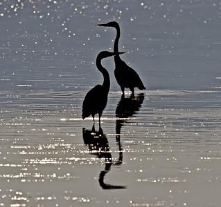 Blue Herons - Billings Spit, B.C.
