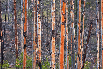 Vertical lines of burnt timber. Bow Valley Parkway, near Banff, Alberta. The orange colours invite us to pause and consider, while the purple / grey of the background stimulates our imagination.  What does it all mean?