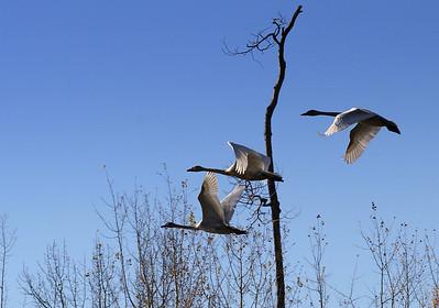 Swans - Elk Island National Park