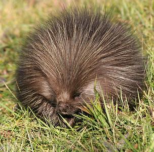 Porcupine - Elk Island National Park