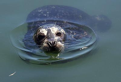 Harbour seal - Sooke, B.C.
