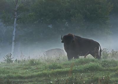 Plains Bison - Elk Island National Park