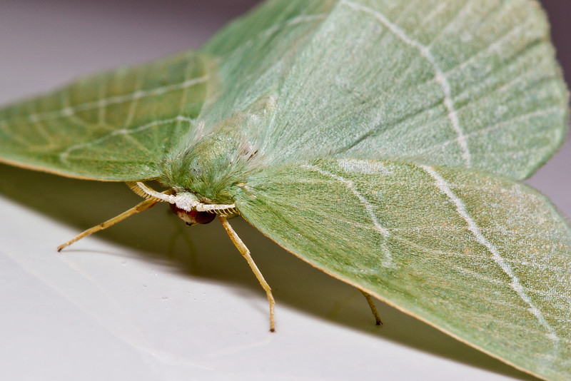 This little Emerald moth decided to show itself off in our bathroom. Here it is posing underneath the sink.