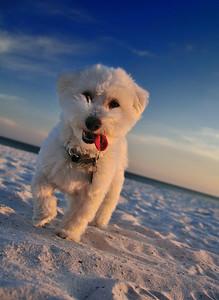 Sunset Beach Dog