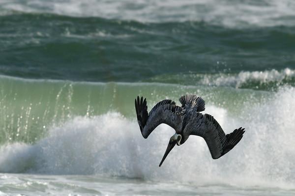 Pelican Dive April 5, 2009