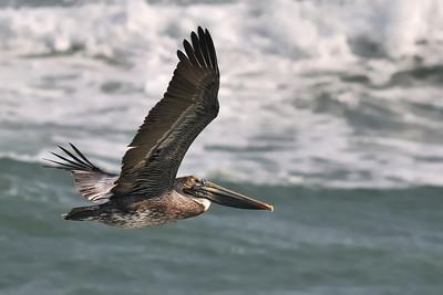 Pelican Glide January 20, 2010