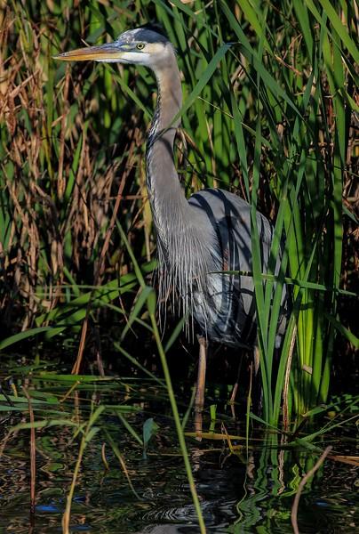 aaAnahuac 12-9-16 567A, Great Blue Heron, reeds, portrait