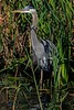 aaAnahuac 12-9-16 567A, Great Blue Heron, reeds, portrait