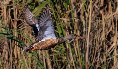 aaAnahuac 12-9-16 621A, female shoveler on the wing