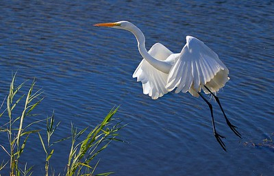 aaAnahuac 12-9-16 669A, Great Egret