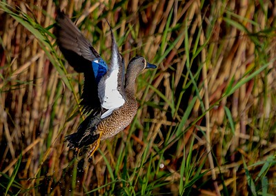 aaAnahuac 12-9-16 295A, Blue-winged Teal on takeoff