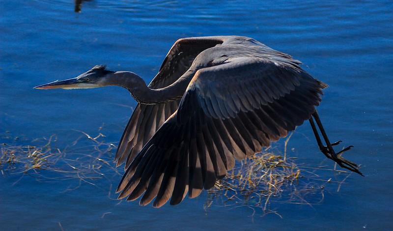 aaAnahuac 12-9-16 643A, Great Blue Heron in flight