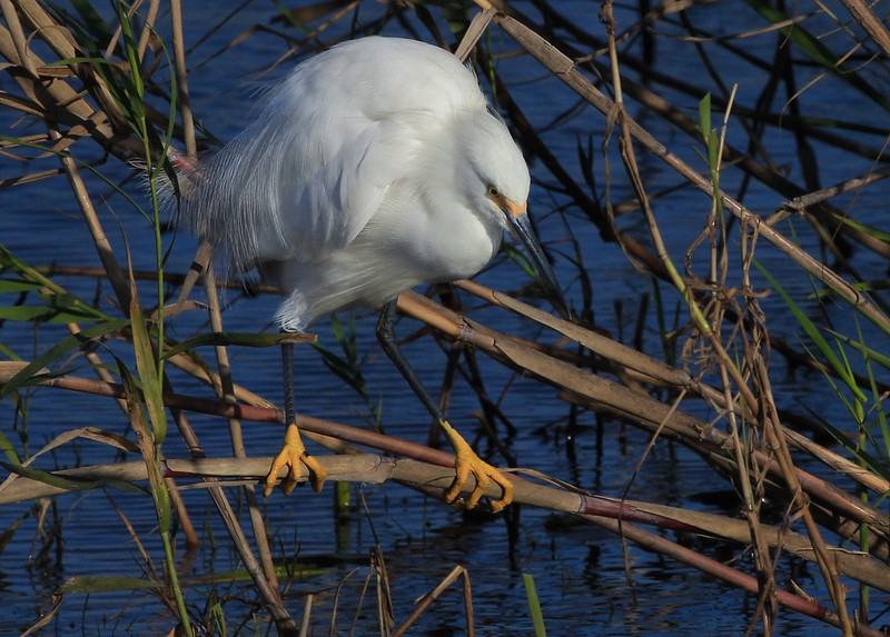 aaAnahuac 12-9-16 462A, Snowy Egret perched