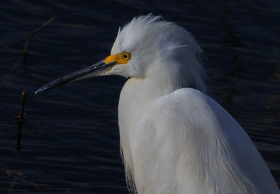 aaAnahuac 12-9-16 357B, Snowy Egret upper body