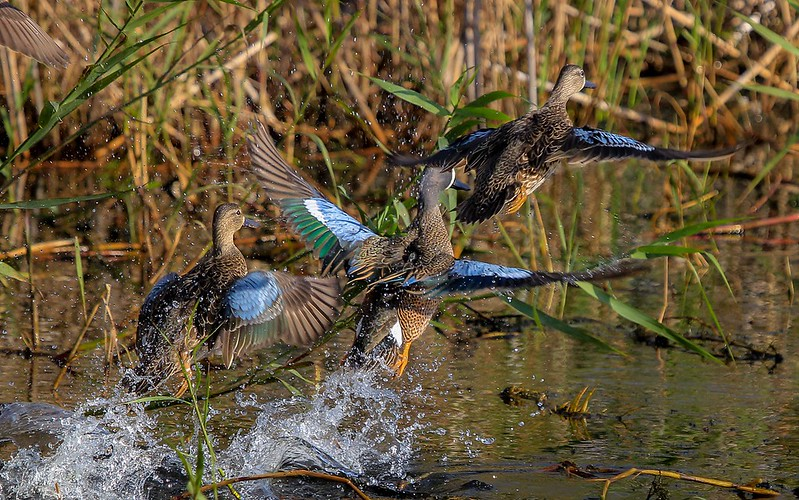 aaAnahuac 12-9-16 318A, Blue-winged Teal takeoff