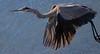aaAnahuac 12-9-16 335A, Great Blue Heron flight