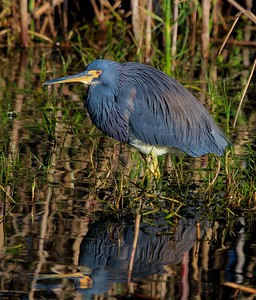 aaAnahuac 12-9-16 265A, Tri-colored Heron with reflection