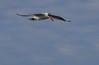 Adult non-breeding Caspian Tern