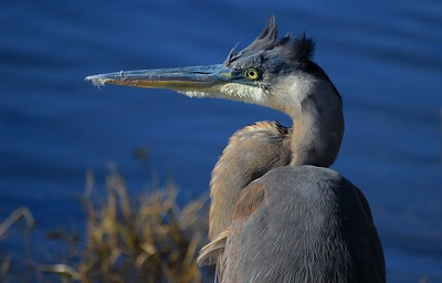 aaAnahuac 12-9-16 637A, Great Egret fishing