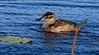 aaAnahuac 12-9-16 573A, Ruddy Duck