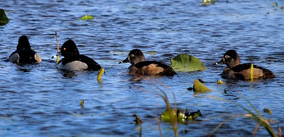 aaAnahuac 12-9-16 426A Ring-necked Ducks
