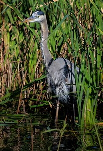 aaAnahuac 12-9-16 704A, Great Blue Heron