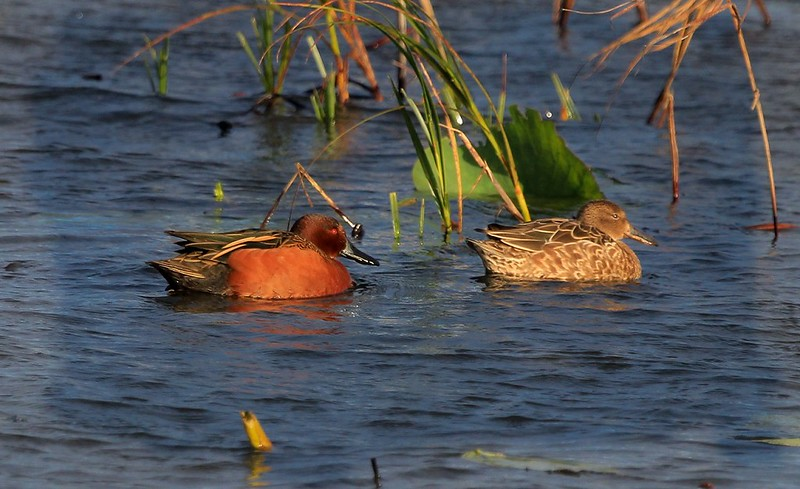 aaaAnahuac 12-9-16 119A, Cinnamon Teal male and female