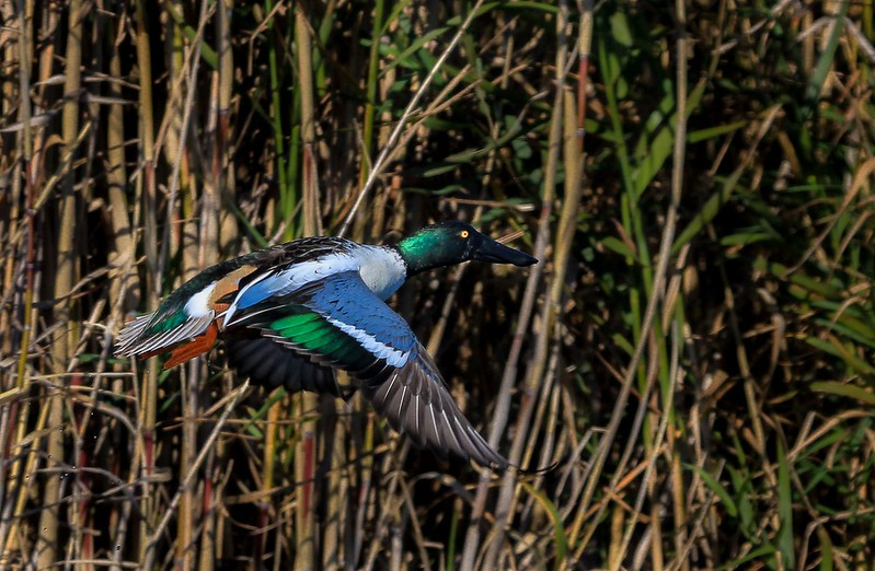 This was the first male Shoveler I have seen this season to have bright green feathers on his head.