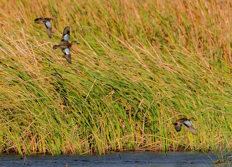 Blue-winged Teal landing far away.