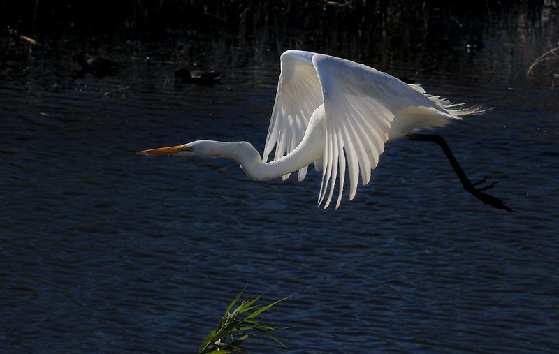 The quartering backside sunlight highlights a Great Egret's primaries nicely.