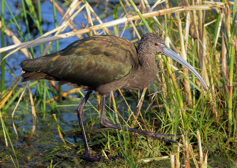 aaAnahuac 12-9-16 064A, 1st winter white-faced Ibis