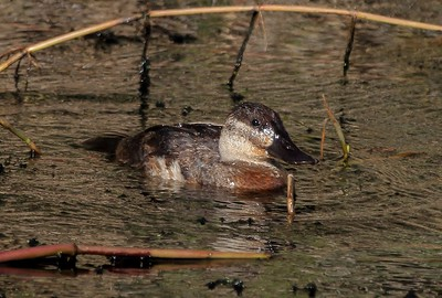Hope this drake Ruddy Duck hangs around long enough for full mating colors to come in.