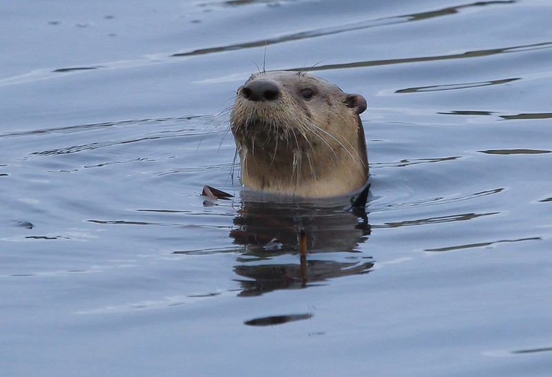 River Otter, found at the north boat dock.