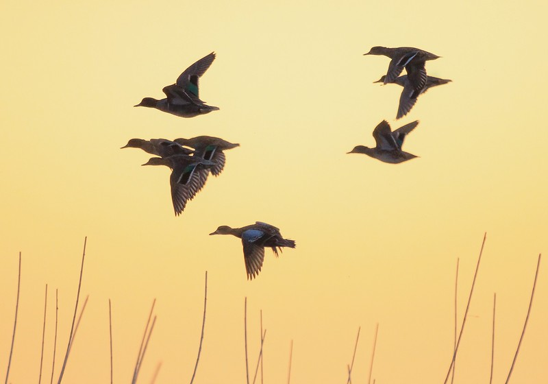 Mallards and a Blue-winged Teal take off at dawn