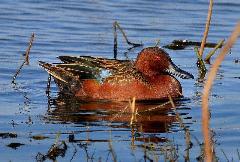 Male Cinnamon Teal at rest, Shoveler Pond.