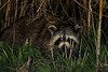 A raccoon ran across our path and briefly paused here before slipping into the reeds.