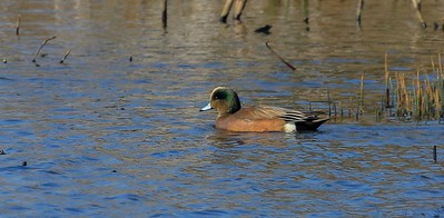 zAnahuac 413A American Wigeon male, breeding plumage