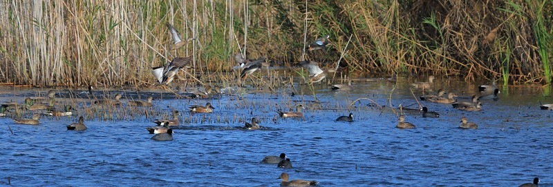 A variety of ducks toward the center of Shoveler Pond.