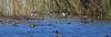 A variety of ducks toward the center of Shoveler Pond.