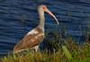 Juvenile White Ibis transitioning to adult colors.