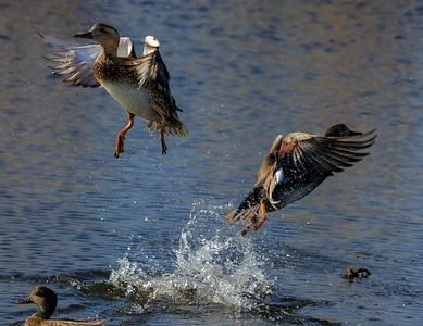 Fulvous Ducks
