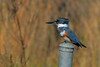 A very shy and cautious Belted Kingfisher. We had to be quick triggered to get him.