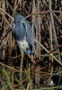 aaAnahuac 12-9-16 710A, Tri-colored Heron against reeds