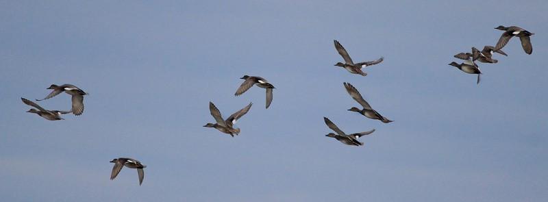 Flight of Gadwalls