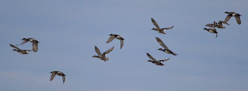 Flight of Gadwalls
