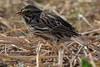aaAnahuac 12-9-16 415A Savannah Sparrow