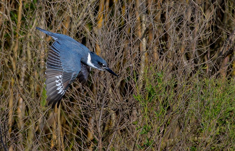 zAnahuac 12-19-16 283AB, diving Belted Kingfisher, small